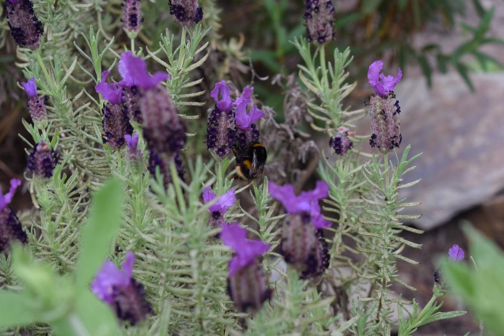 Eden Project Bee Lavendar