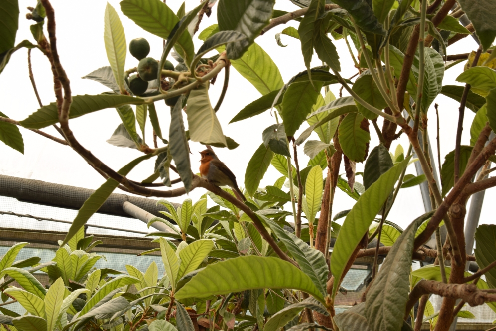 Eden Project Robin Singing